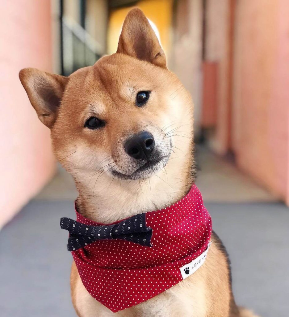 Power-Pets-Rollo-Shiba