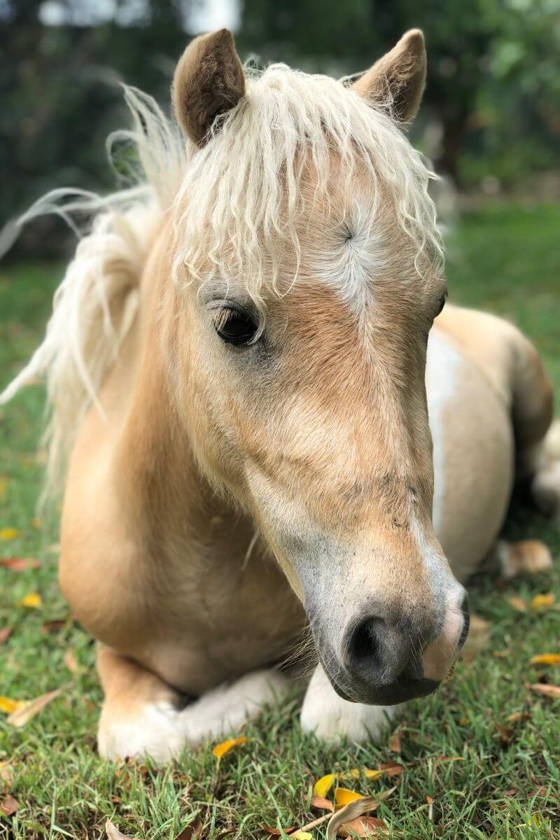Power-Pets-Apollo-Mini-Horse-Feature-Image