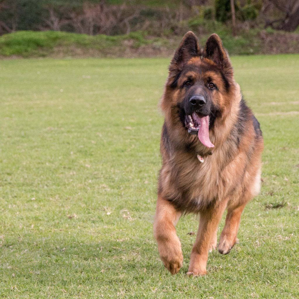 Power-Pets-Archer-GSD-2