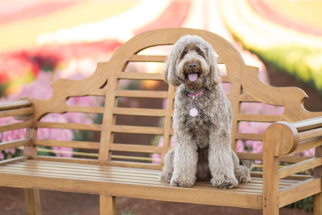 Power-Pets-Bailey-the-Labradoodle-3