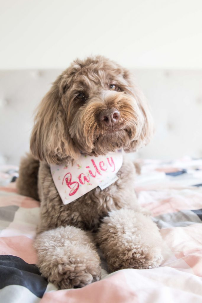 Power-Pets-Bailey-the-Labradoodle-6