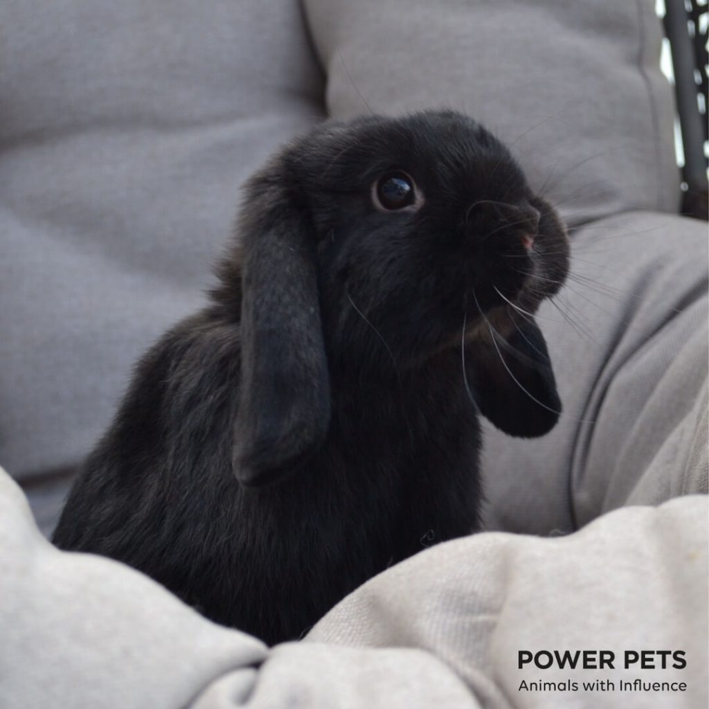 Power-Pets-Dexter-Mini-Lop-2