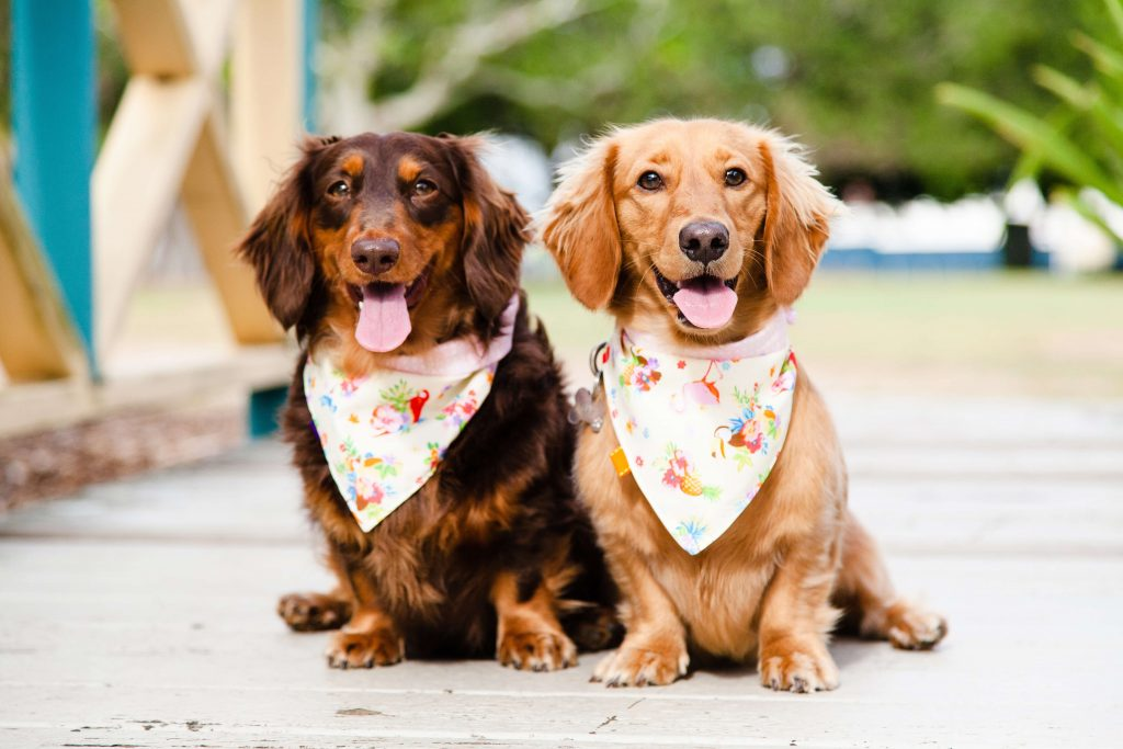 Power-Pets-Doxies-Down-Under-1