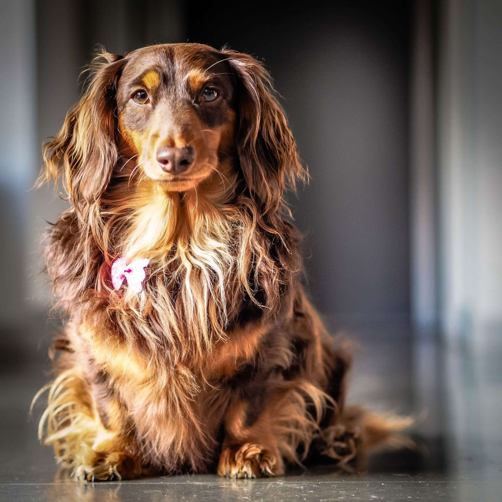 Power-Pets-Doxies-Down-Under-10