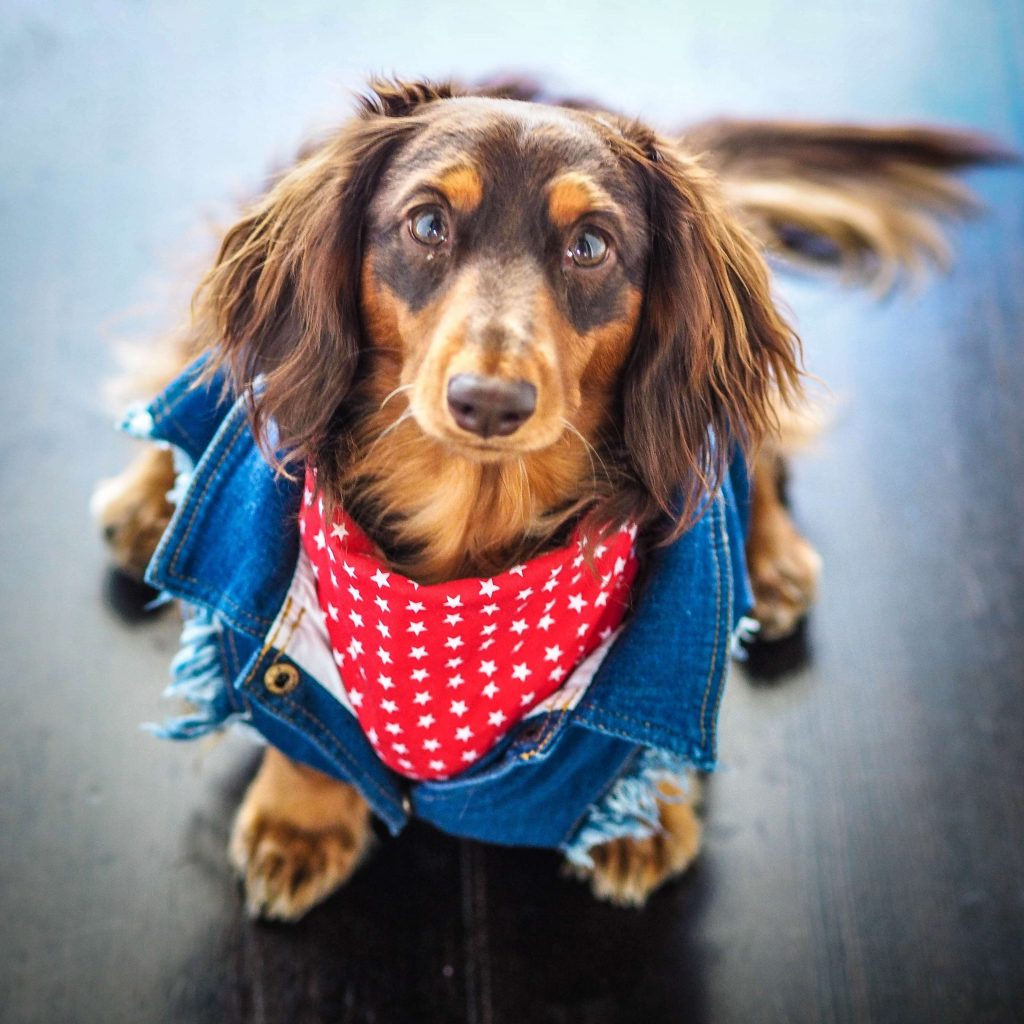 Power-Pets-Doxies-Down-Under-4