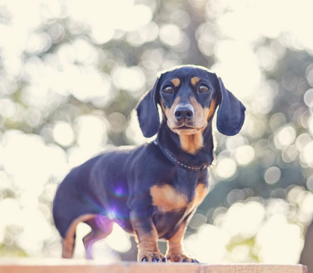 Power-Pets-Frankie-the-Lil-Sausage-1