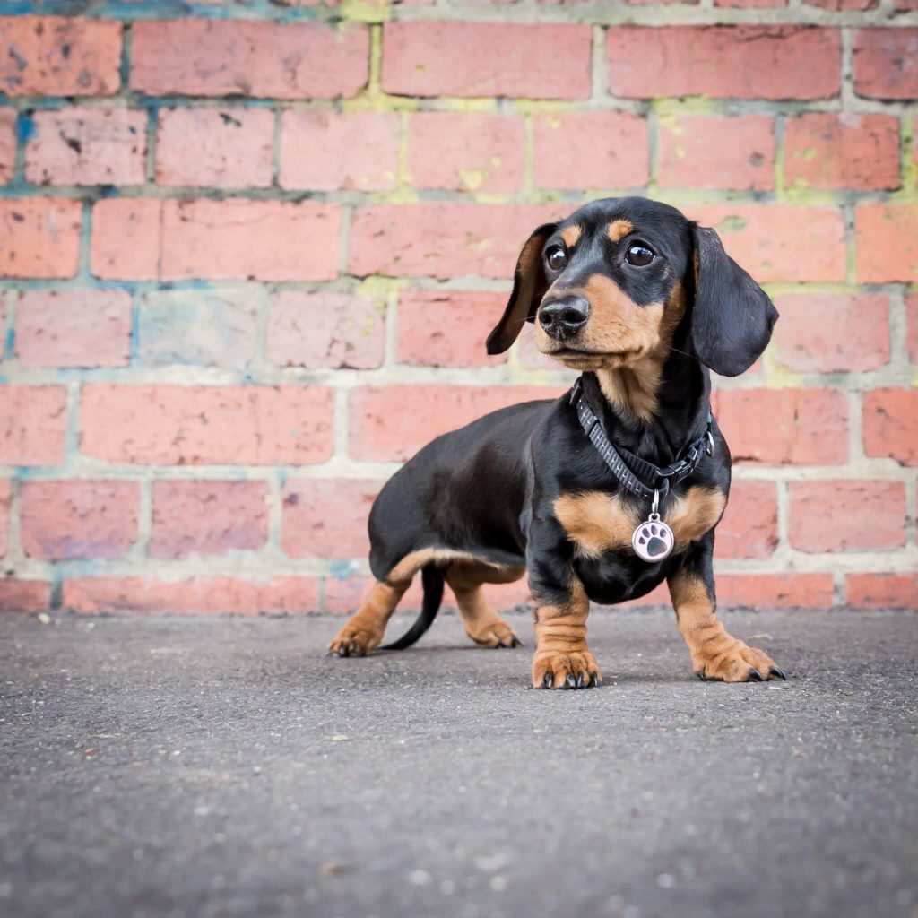 Power-Pets-Frankie-the-Lil-Sausage-3