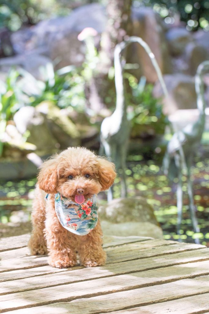 Power-Pets-Hana-the-Toy-Poodle-2