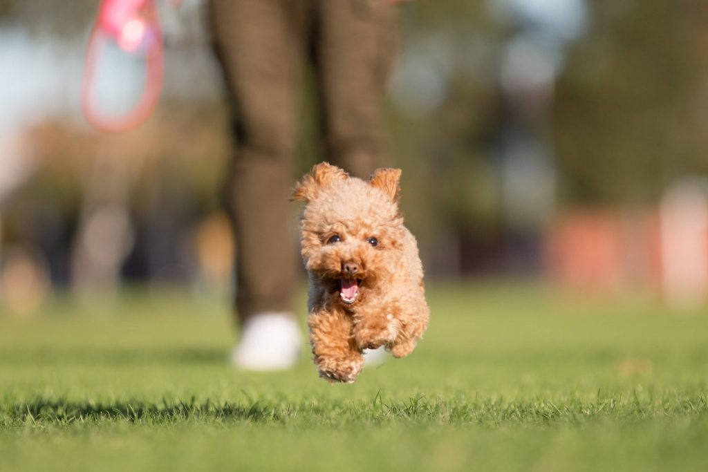 Power-Pets-Hana-the-Toy-Poodle-5