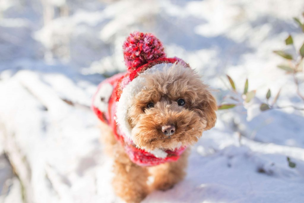 Power-Pets-Hana-the-Toy-Poodle-6