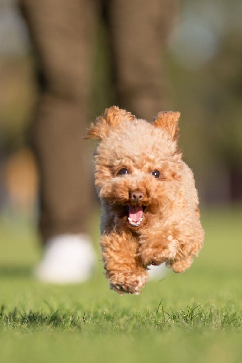 Power-Pets-Hana-the-Toy-Poodle-Feature-Image