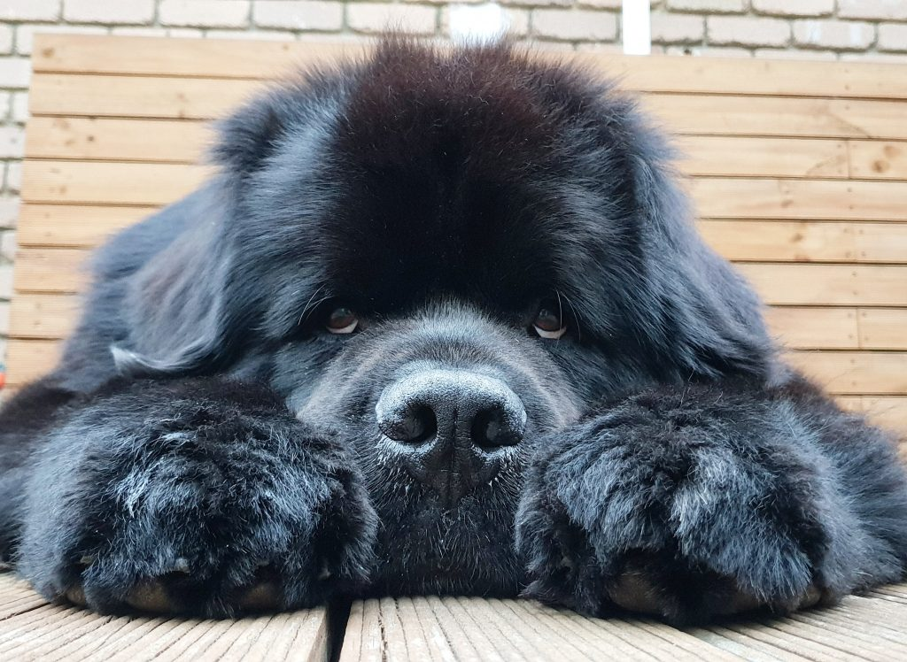 Power-Pets-Hugo-the-Newfie-2