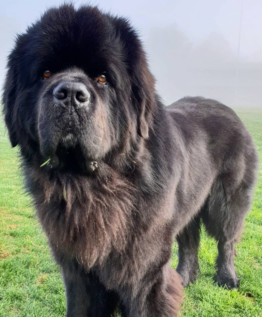Power-Pets-Hugo-the-Newfie-6