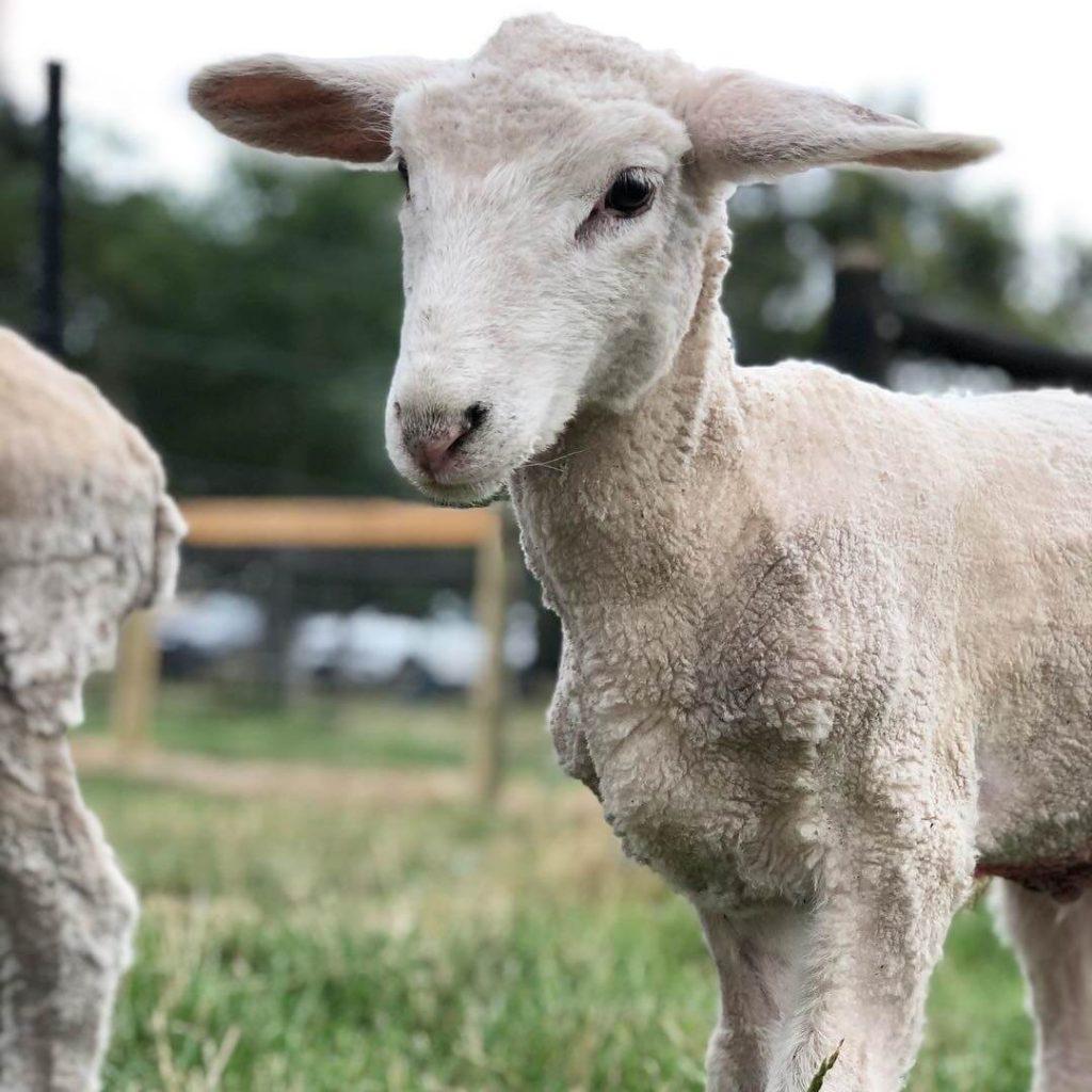 Power-Pets-King-Louis-Lamb-2