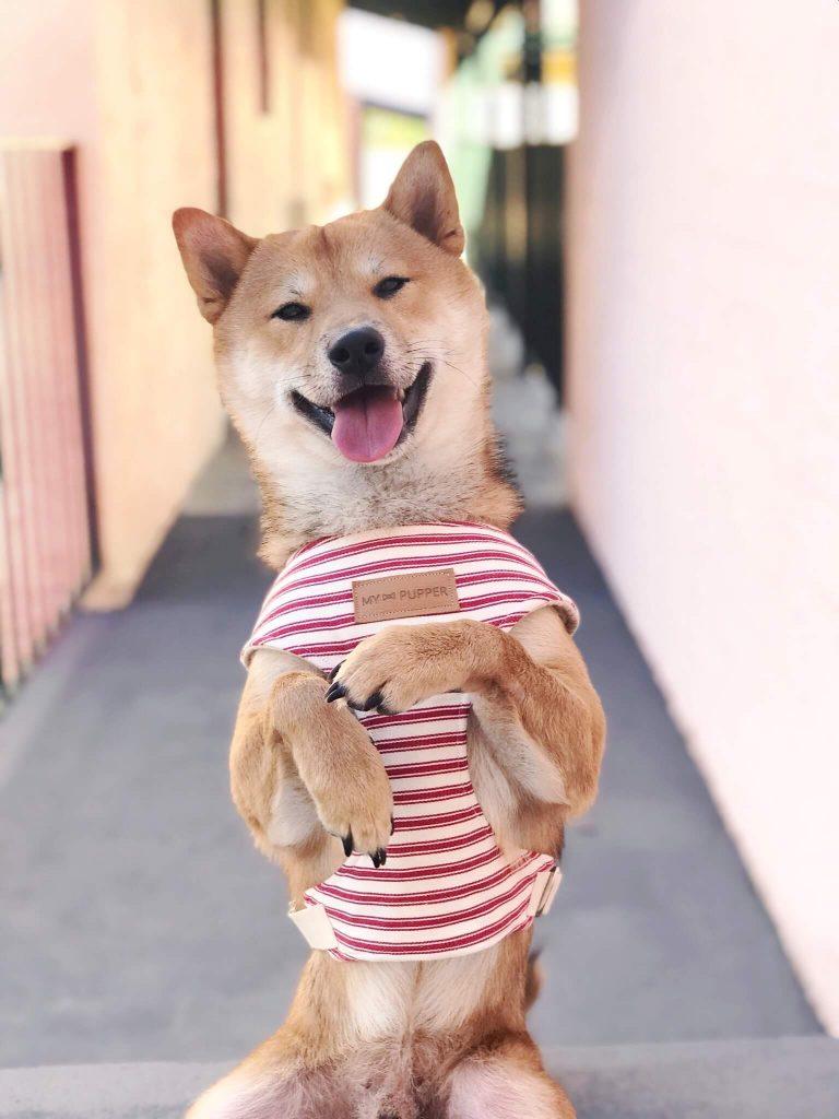 Power-Pets-Rollo-Shiba-1
