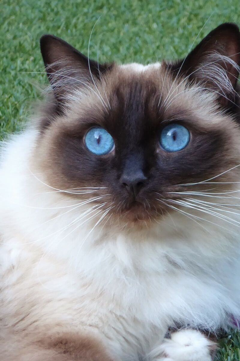Power-Pets-Princess-Alaska-Ragdoll-Feature-Image