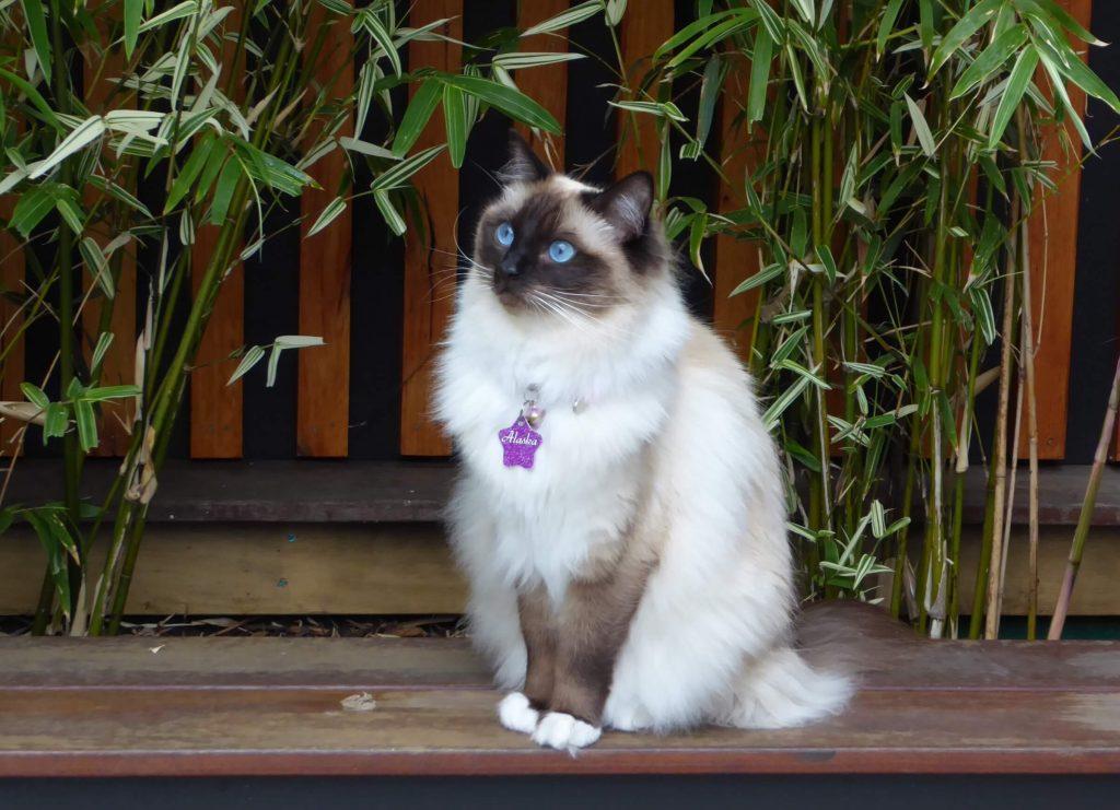 Power-Pets-Princess-Alaska-Ragdoll